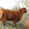 Vache highland cattle