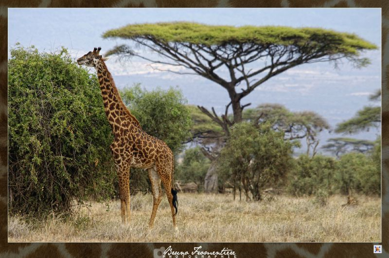 Girafe 3b