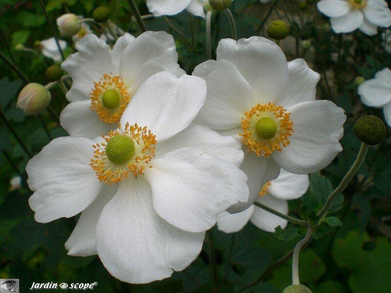 Les an mones du japon gracieuses l g res et florif res - Anemone du japon blanche ...