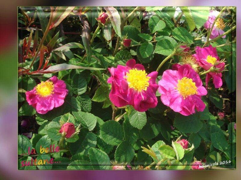balanicole_2016_11_les nouveaux rosiers de balanicole_L comme belle sultane_08