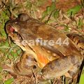 rancho timanu_smoky jungle frog_02