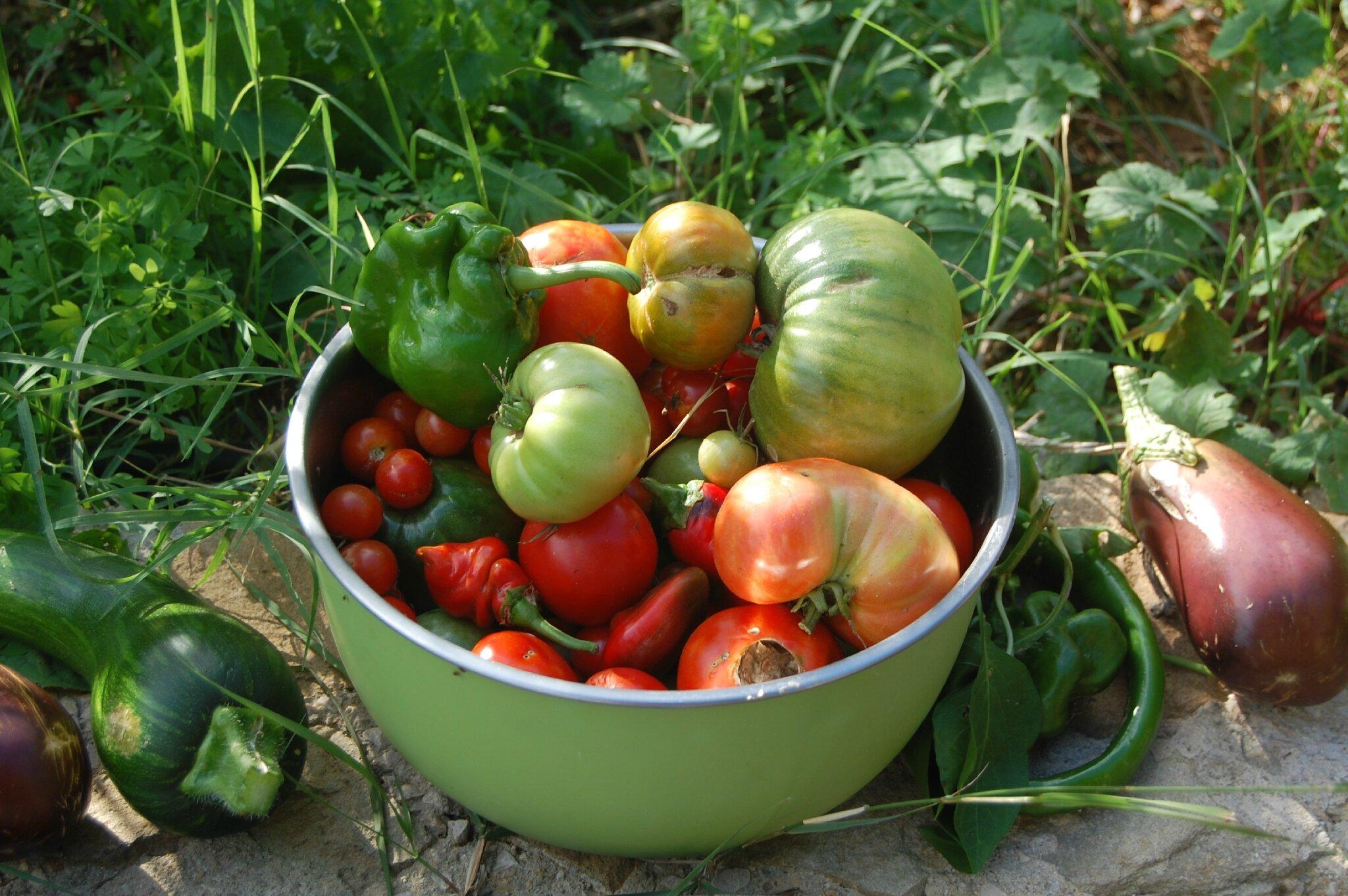 Ramasser ses dernières tomates vertes pour les transformer en confiture