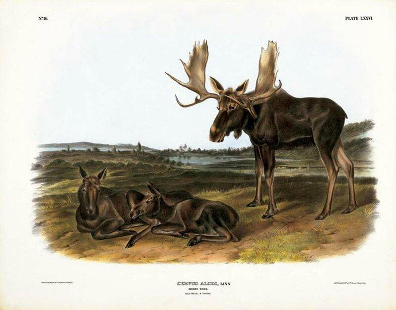 audubon-quadrupeds-76_1