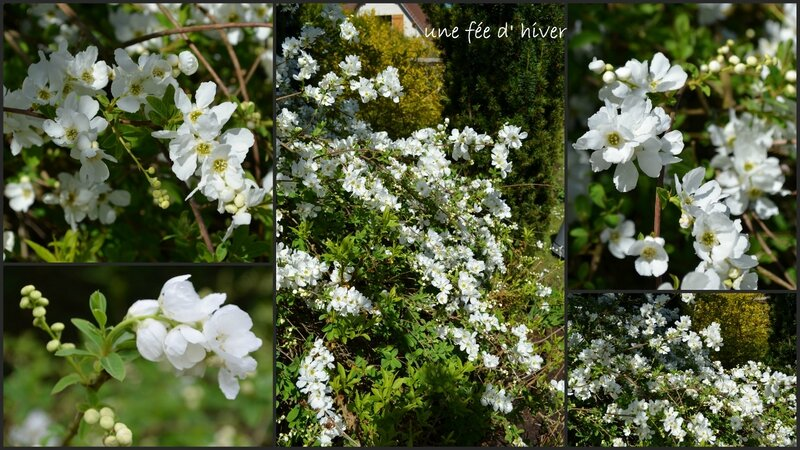 EXOCHORDA MACRANTHA the bride1