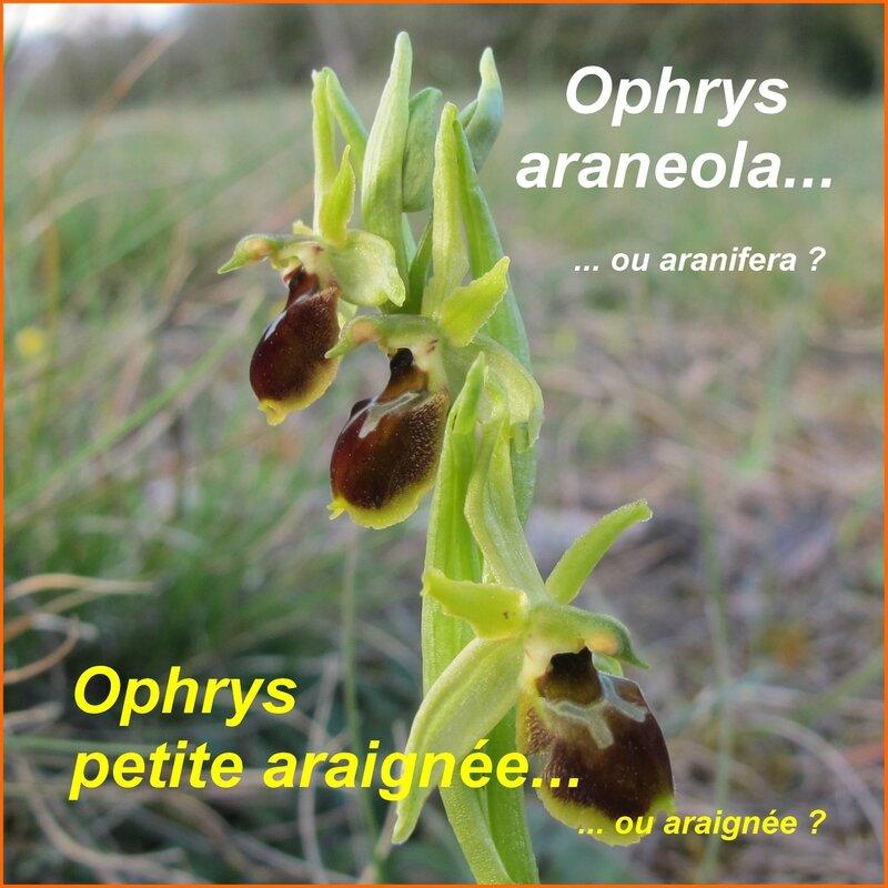 Ophrys araneola - petite araignée - comp