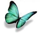 papillon seul