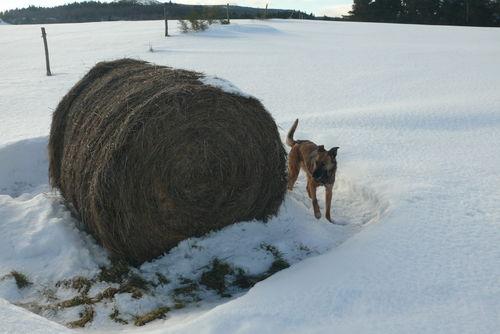 2008 12 30 Kapy a côté d'une botte de foin dans la neige