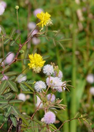 Mimosa pigra / pudica et Neptunia plena