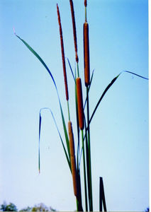 typha_angustifolia