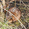 Marquenterre rat musque