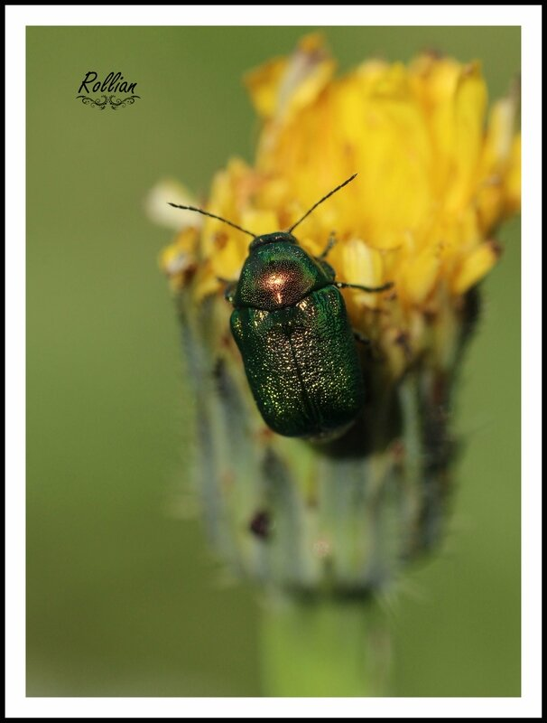 Chrysolina herbacea2