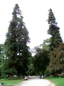 7131_Sequoias_sempervirens