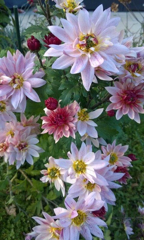 chrysanth_mes