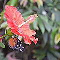 hunawihr papillon cigogne (83)
