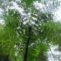 Fougère arborescente