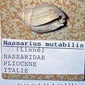 NASSARIUS MUTABILIS ITALIE