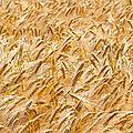Dissémination d'un blé ogm aux etats-unis