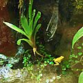 Phyllobate terrible