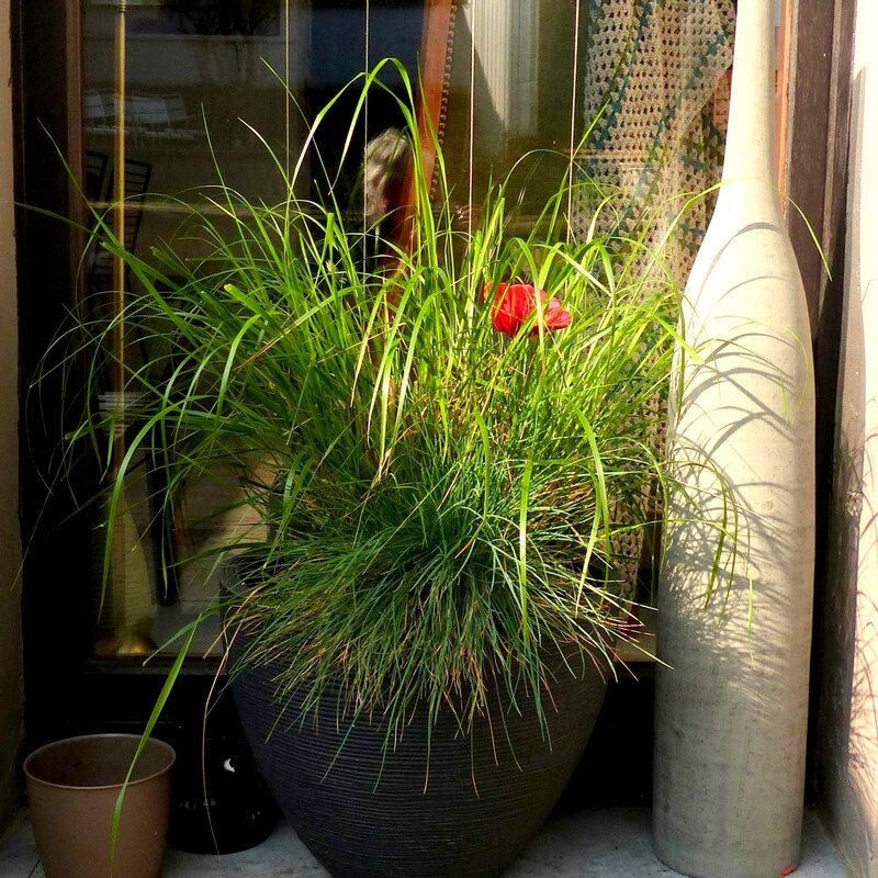 aaa plante graminées
