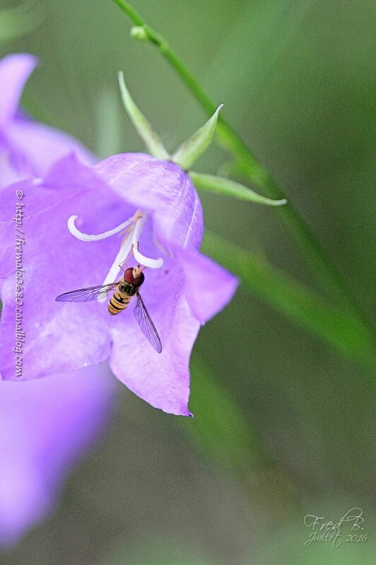 Episyrphus balteatus -Campanula sp
