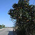 Denia, route et orangers (Espagne)