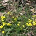 2008 04 19 Des fleurs jaune sauvage