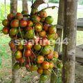 route sarapiqui limon_fruit d'arbre à coeur de palmier_02