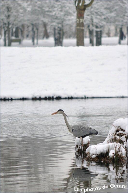 Héron cendré sous la neige