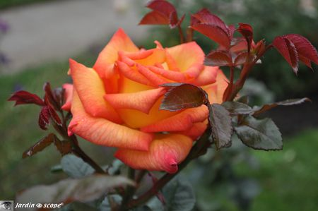 N°15-Rose-de-Cristal