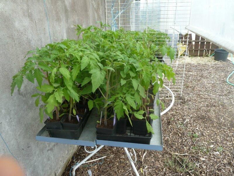 4-tomates et abri (8)