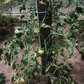 2009 06 07 Un plant de tomate sous serre