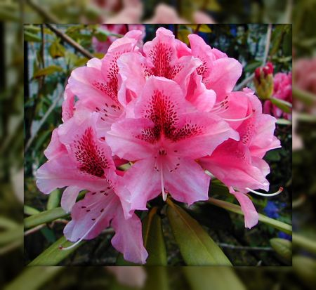 Rhododendron2