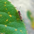 Cécidomyie du puceron • Aphidius Aphelinus • Hyménoptère parasite