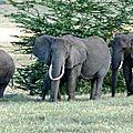 NG10-Elephants