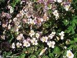Sasnieres_8_anemones