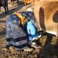 Traire les vaches ...