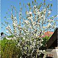 cerisier en fleurs 1