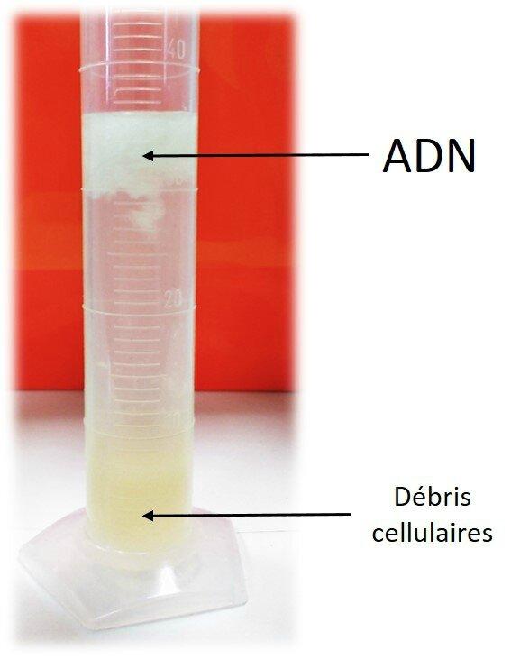 ADN extrait