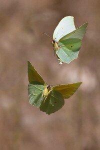 papillons-clc3a9opatra-en-vol-500px-com-200x300