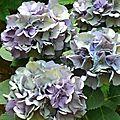 Hortensia, fleur que j'aime même séchée