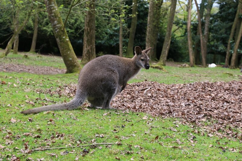 wallaby9