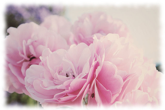 flowers-girly-pink-pretty-roses-Favim