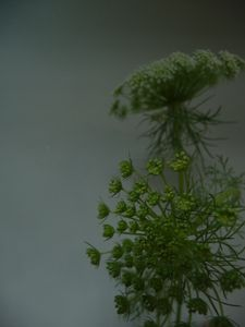 dill_flowers