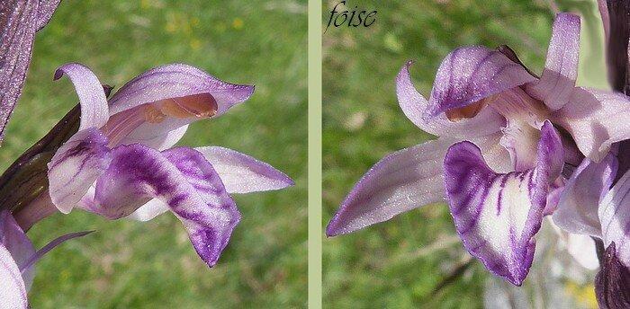 labelle subarticulé strié de violet dirigé vers l'avant