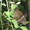 Papilio phorbanta