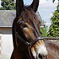 Tête de mule