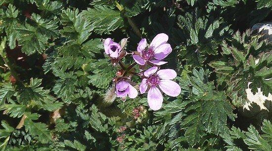 2-8 fleurs sur des pédoncules radicaux ou axillaires