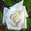 Rosier blanc N°2