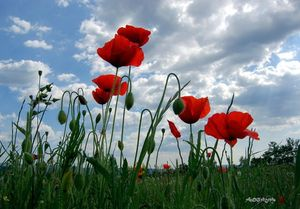 prairie_coquelicots