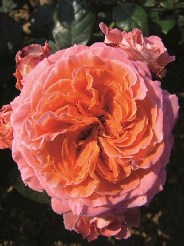 roses_lyonnaises-Valerie_de_Montgolfier
